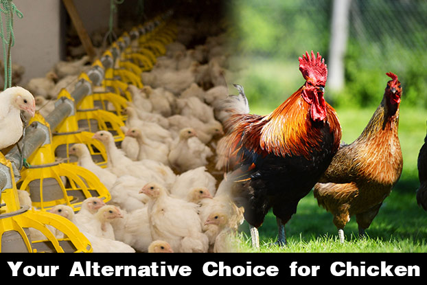 You Are What You Eat The Good And Bad Of Chicken Farming